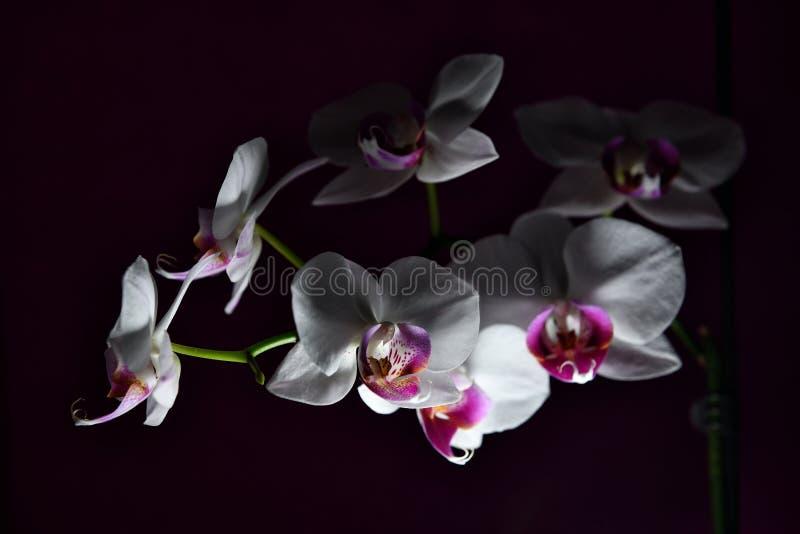 Orchideeën met purper centrum stock fotografie
