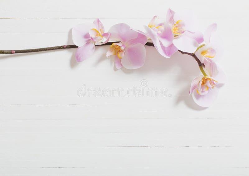Orchideeën op Witte Achtergrond royalty-vrije stock afbeelding