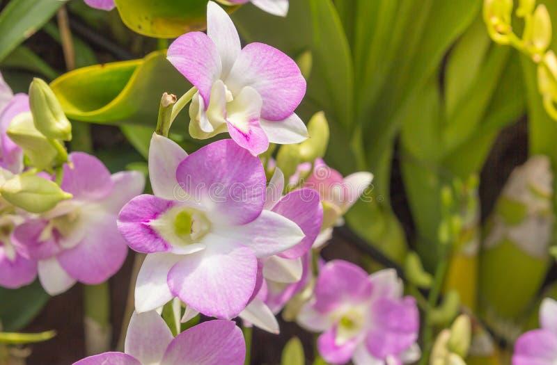 Orchideeën, orchideeënpurple, orchideeënpurple royalty-vrije stock foto's