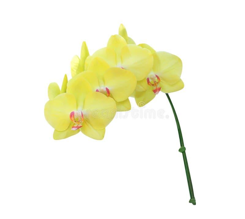 Orchideeën van bloeiwijze groeperen de zoete kleurrijke gele phalaenopsis met roze patronen bloeien geïsoleerd op witte achtergro stock afbeeldingen