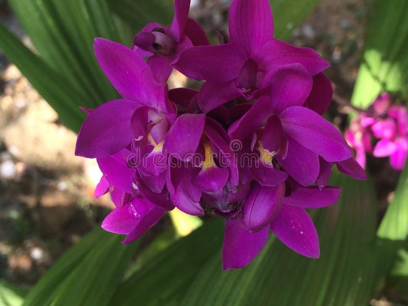 Orchideeënbloem in Sri Lanka stock afbeeldingen