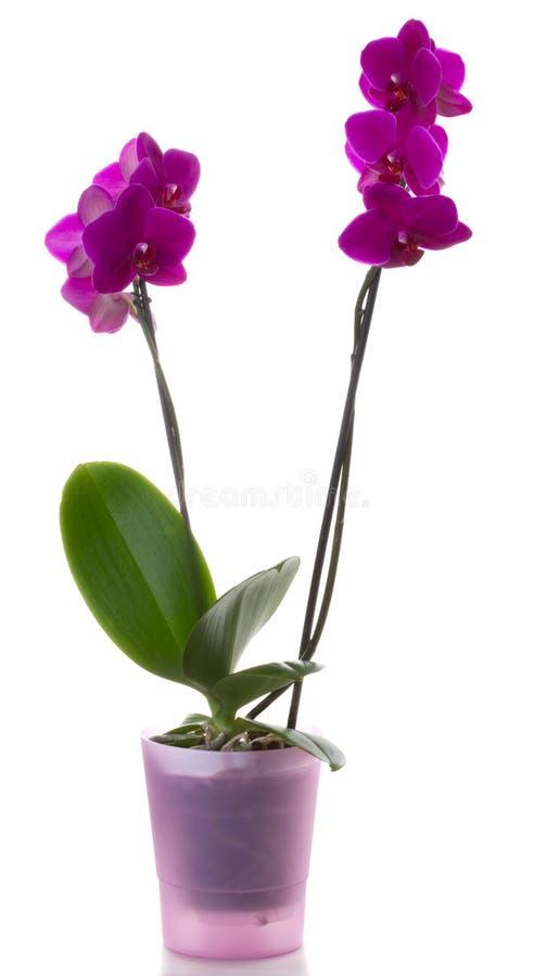Orchidee lizenzfreie stockbilder