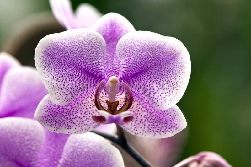 Download Orchidee stock foto. Afbeelding bestaande uit roze, bloem - 39103394