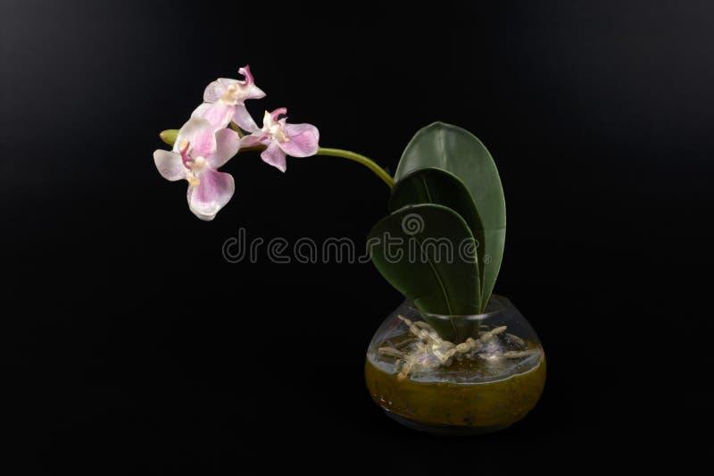 Download Orchidee obraz stock. Obraz złożonej z orchidee, ornament - 53787229