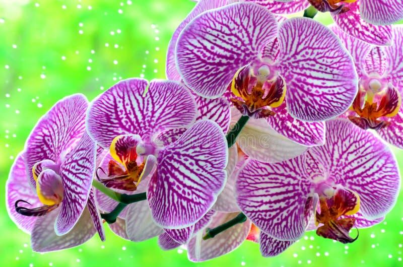 Orchidee stock afbeelding