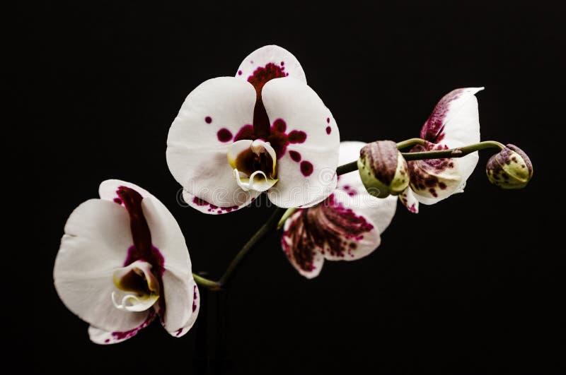 Orchidee stockfoto