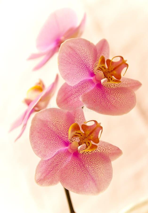 orchidee 库存图片