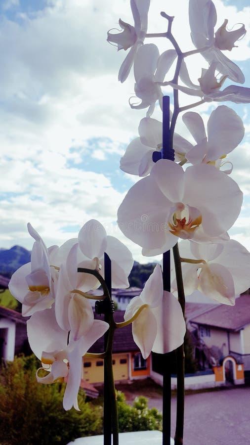 Orchidee royaltyfri bild