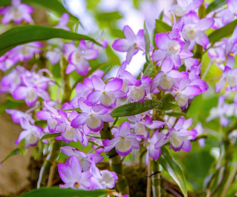 Orchidee Aerides Hangende racemes met vele langdurige, geurige, wasachtige bloemen met purpere randen stock afbeeldingen