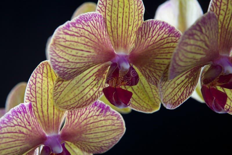 Orchidee auf Schwarzem stockfotos