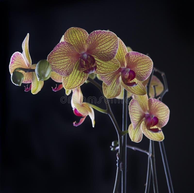 Orchidee auf Schwarzem lizenzfreie stockfotos