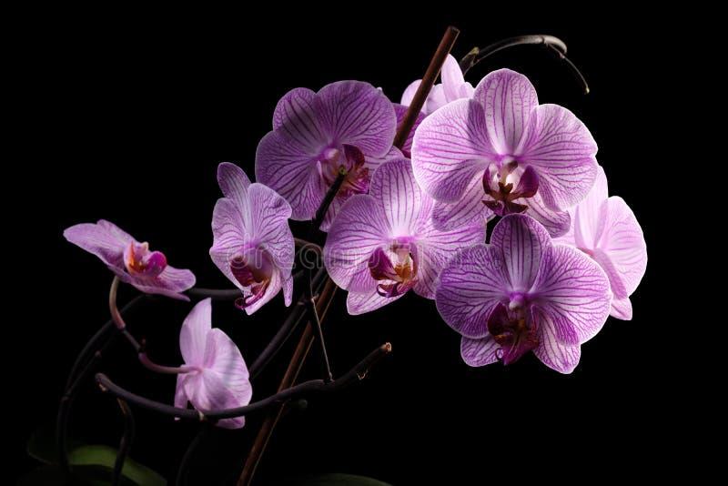 Orchidee auf schwarzem Hintergrund lizenzfreies stockbild