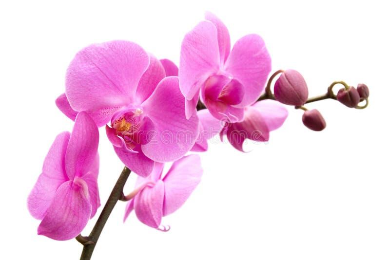 Orchidee auf weißem Hintergrund lizenzfreies stockbild