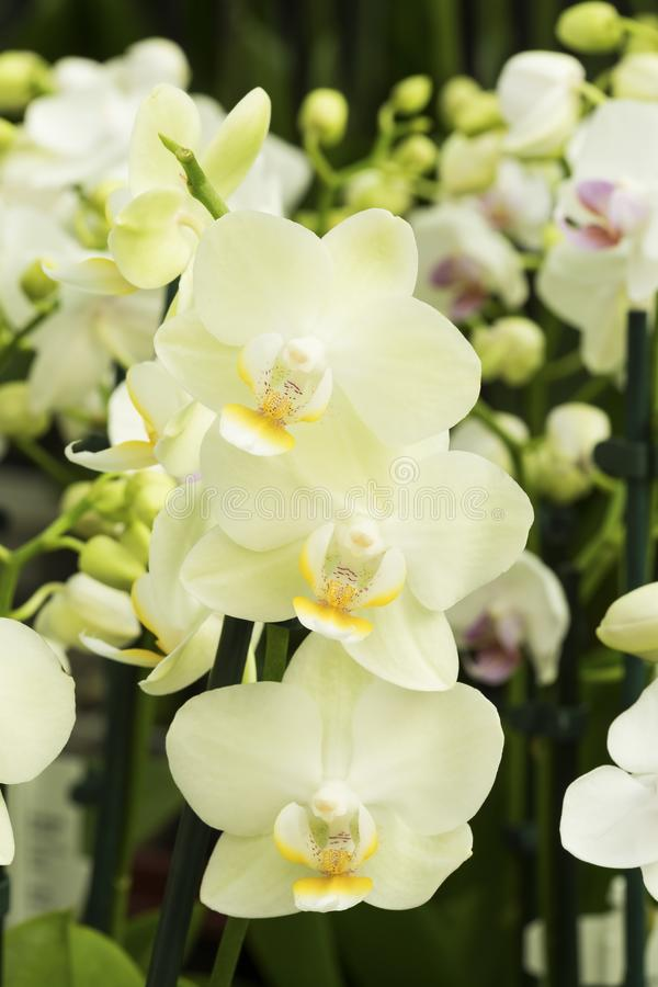 Orchidee beige fotografie stock libere da diritti