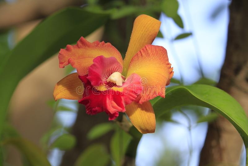 Orchidee, bloem, Thaise orchidee royalty-vrije stock afbeelding