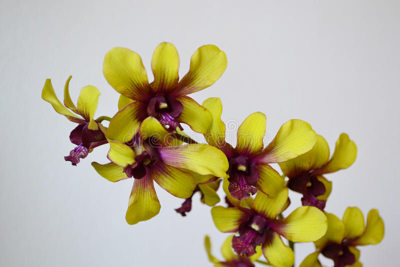 Orchidee - bloemdetail stock afbeelding