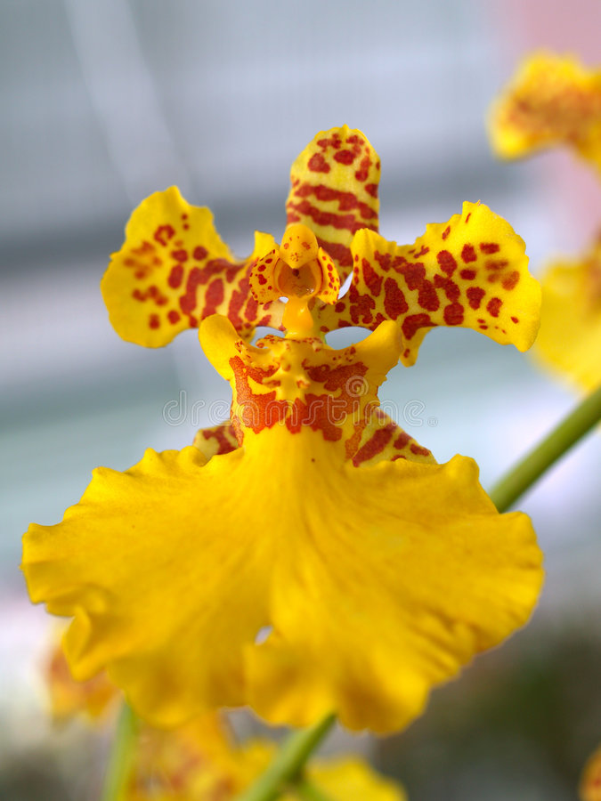 Orchidee-Blume 05 lizenzfreies stockbild