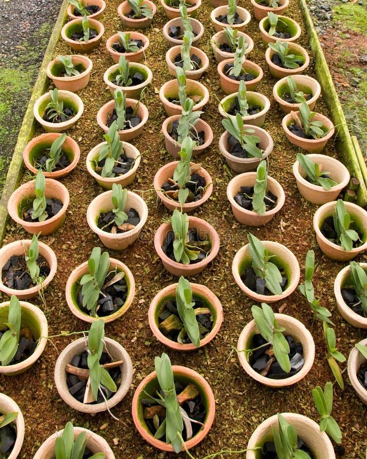 Orchidee conservate in vaso della scuola materna fotografie stock libere da diritti