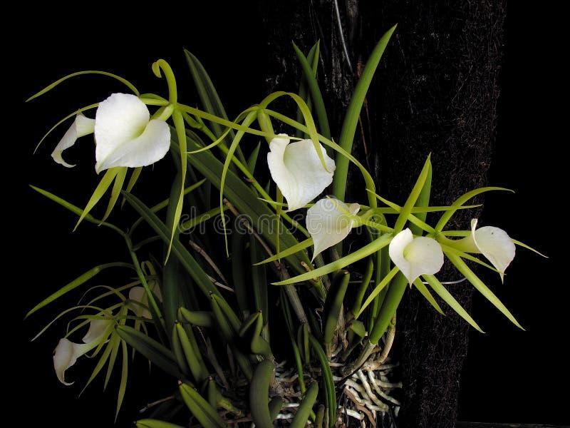 Orchidee: Dame van de Nacht royalty-vrije stock foto's