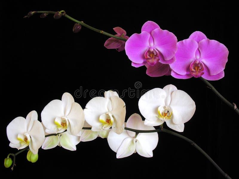 Orchidee: De hybriden van Phalaenopsis royalty-vrije stock afbeelding