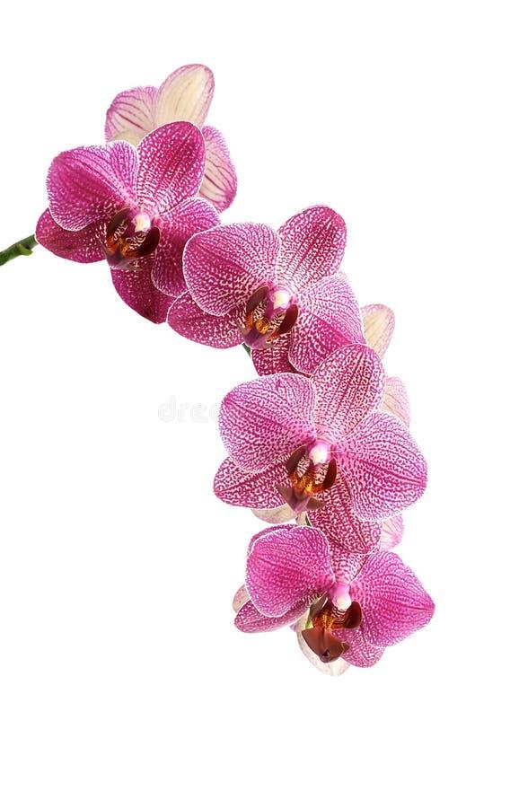 Orchidee del fiore fotografie stock