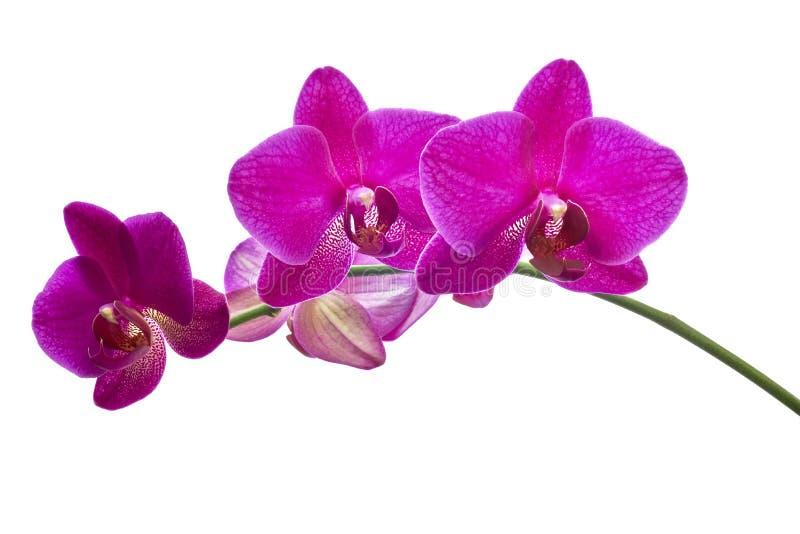 Orchidee del fiore immagini stock