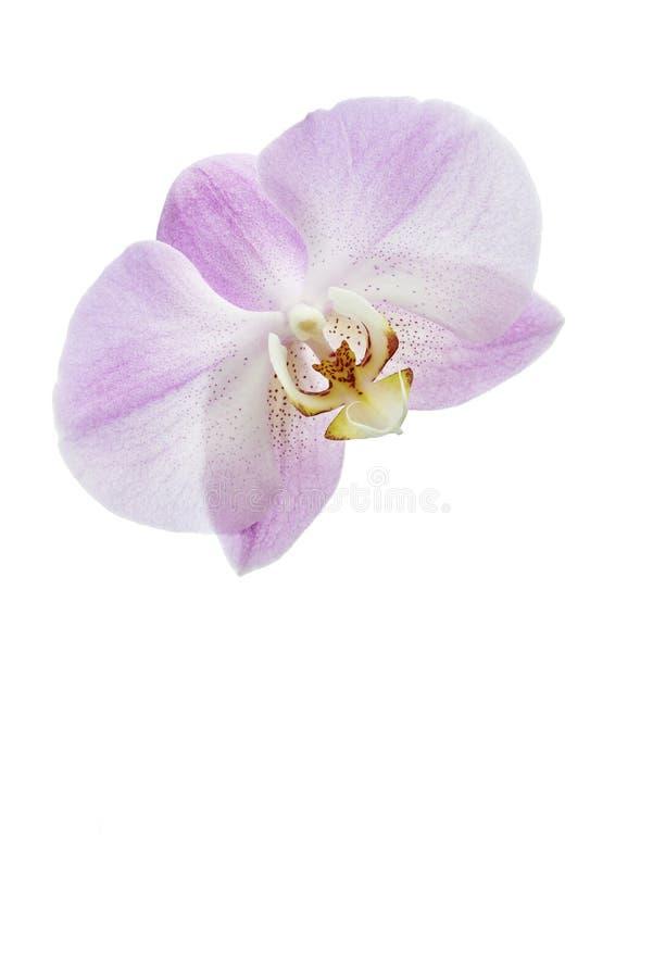 Orchidee del fiore fotografia stock