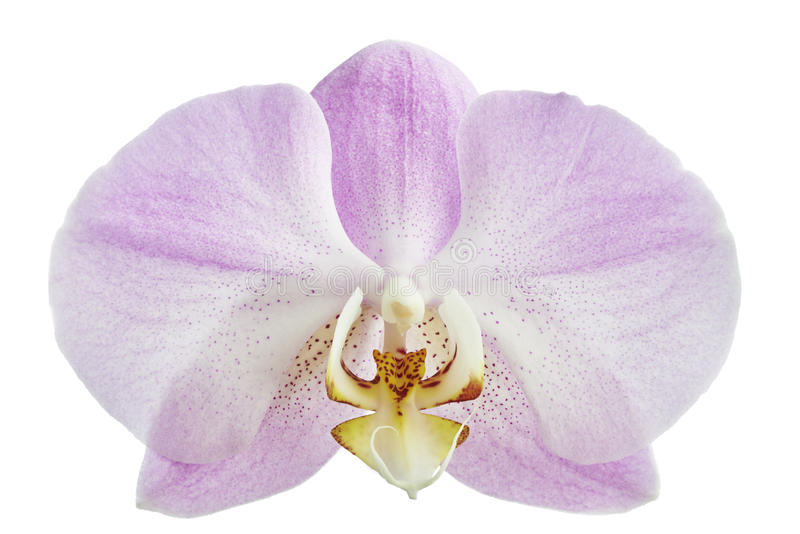 Orchidee del fiore fotografia stock libera da diritti