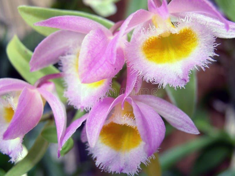 Orchidee Dendrobium lizenzfreie stockfotografie