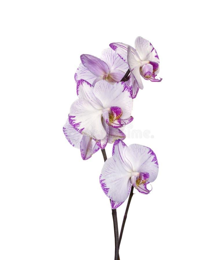 Orchidee dentellare su bianco fotografie stock