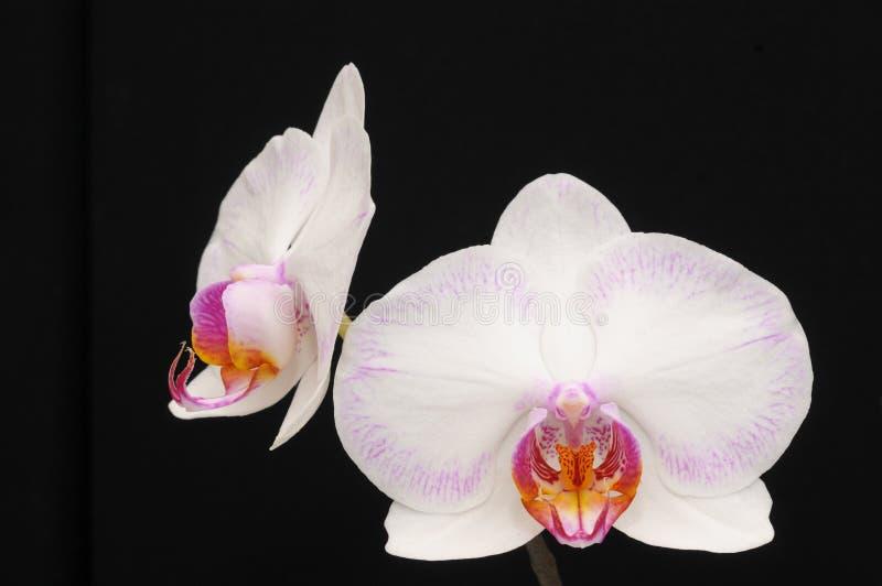 Orchidee in der Blüte stockfotografie