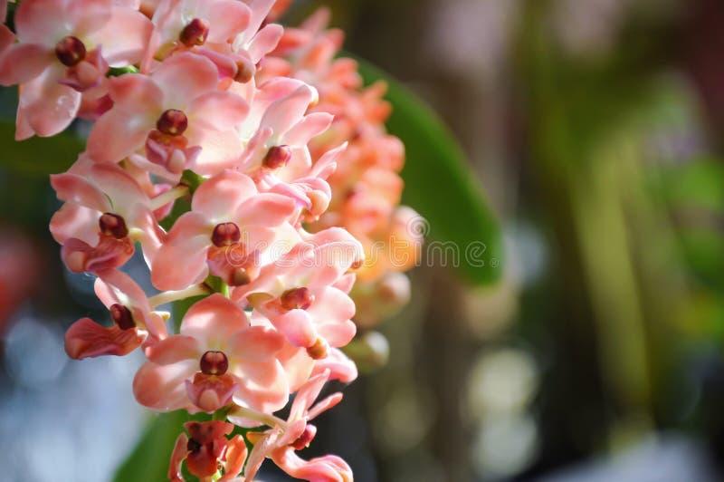 Orchidee in der Blüte an Chiangmai-Blumenfestival 2019, Thailand lizenzfreies stockfoto