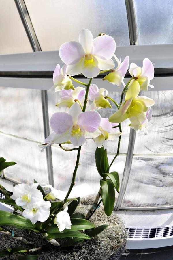 Orchidee in der Winter-Leuchte lizenzfreie stockfotografie