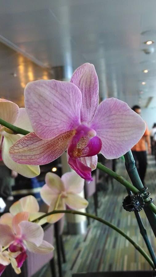 Orchidee di lido fotografia stock libera da diritti