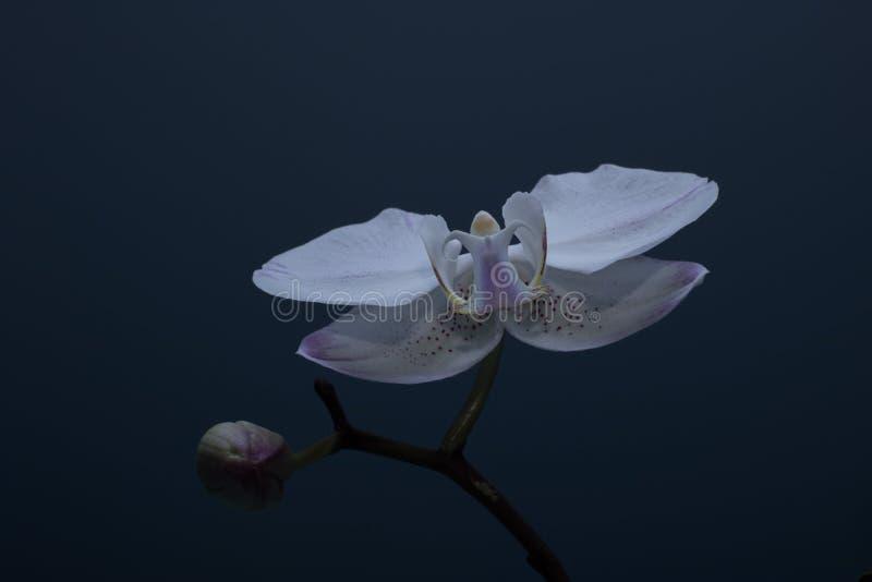 Orchidee die tot bloei kwam en die niet tot bloei kwam stock foto's