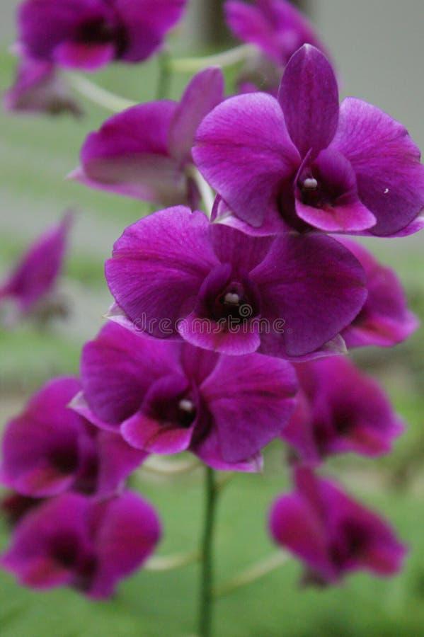 Orchidee eksponuje ich piękno obrazy royalty free