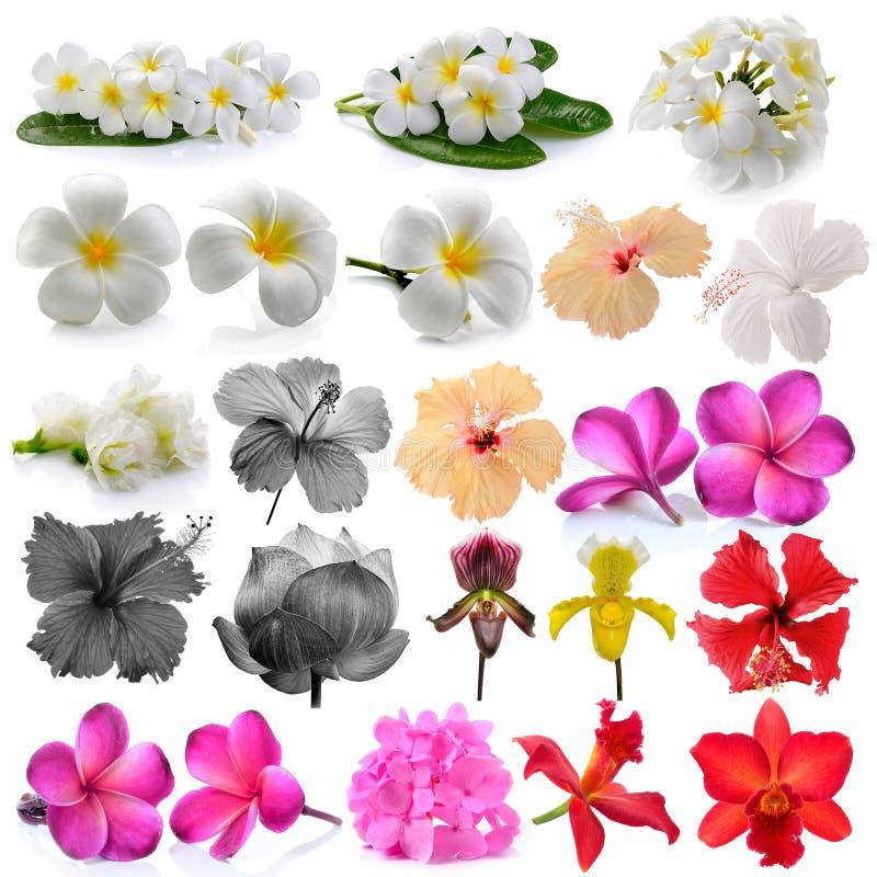 Orchidee Frangipani, asiatische pigeonwings, Blumen lokalisiert auf Weiß stockfoto