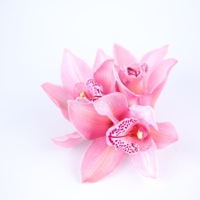 Orchidee getrennt lizenzfreie stockbilder