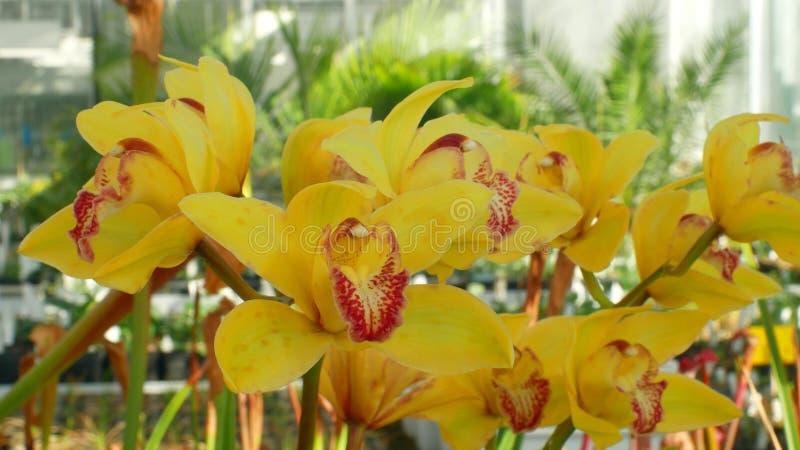 Orchidee gialle ibride del Cymbidium il genere, bello fiore, sviluppo di cremisi crescente di molti ibridi artificiali immagini stock