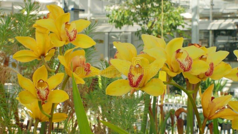 Orchidee gialle ibride del Cymbidium il genere, bello fiore, sviluppo di cremisi crescente di molti ibridi artificiali immagine stock libera da diritti
