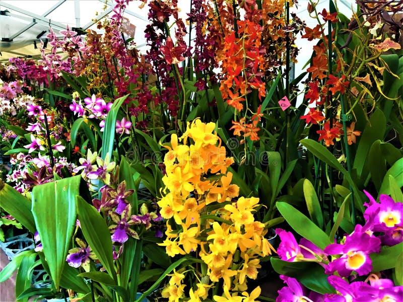 Orchidee incantevoli, bellezza, natura e magia immagini stock