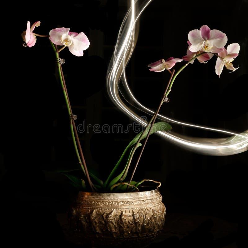 Orchidee isolate con pittura leggera fotografia stock libera da diritti