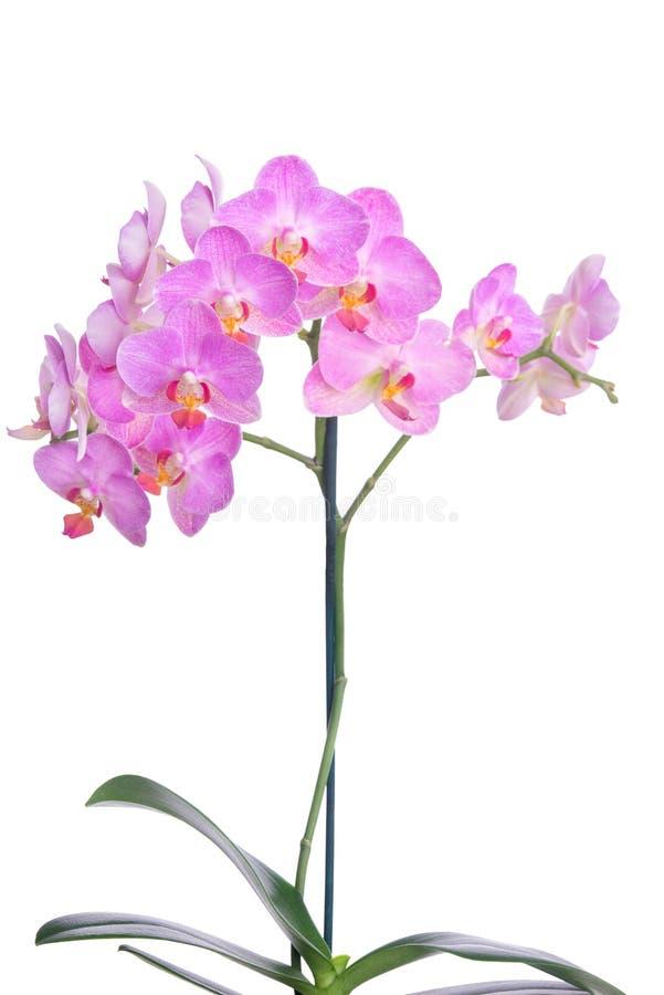 Orchidee kwitną na banch odizolowywającym na białym tle zdjęcia royalty free