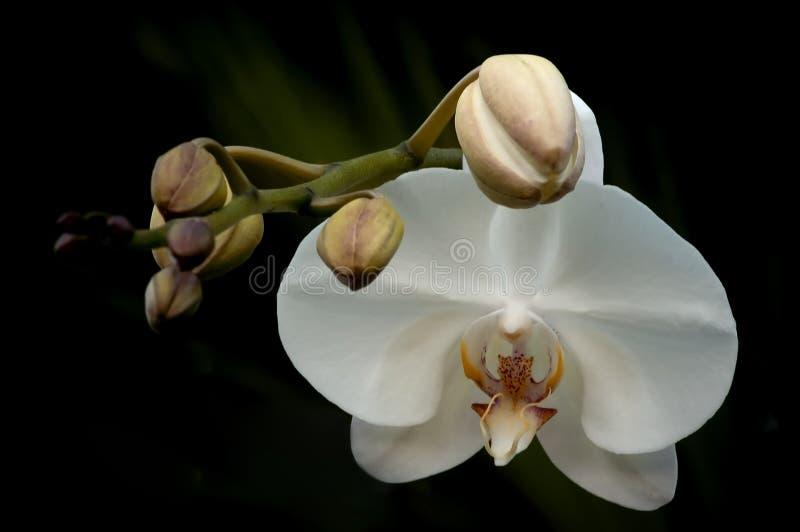 Orchidee met Knoppen royalty-vrije stock foto's