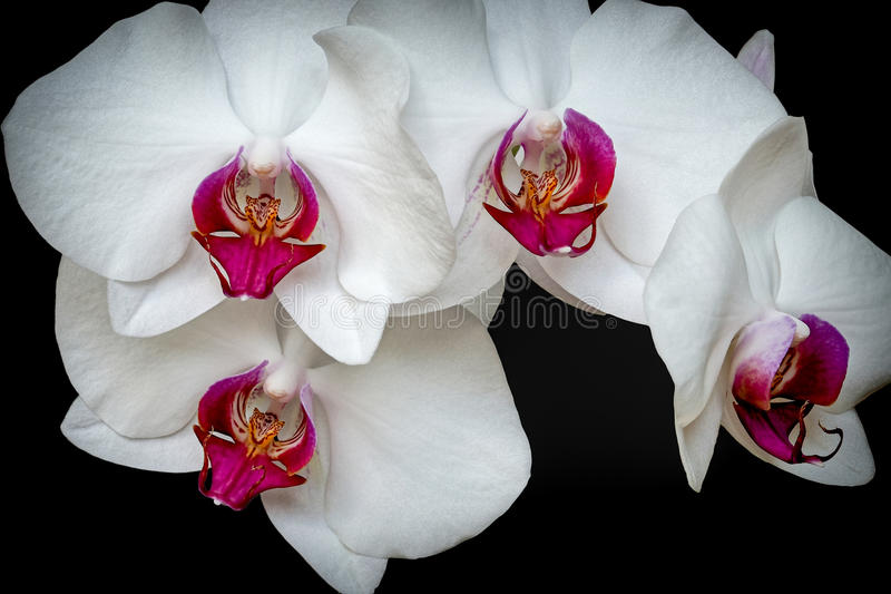 Orchidee mit fünf Blumen stockbilder