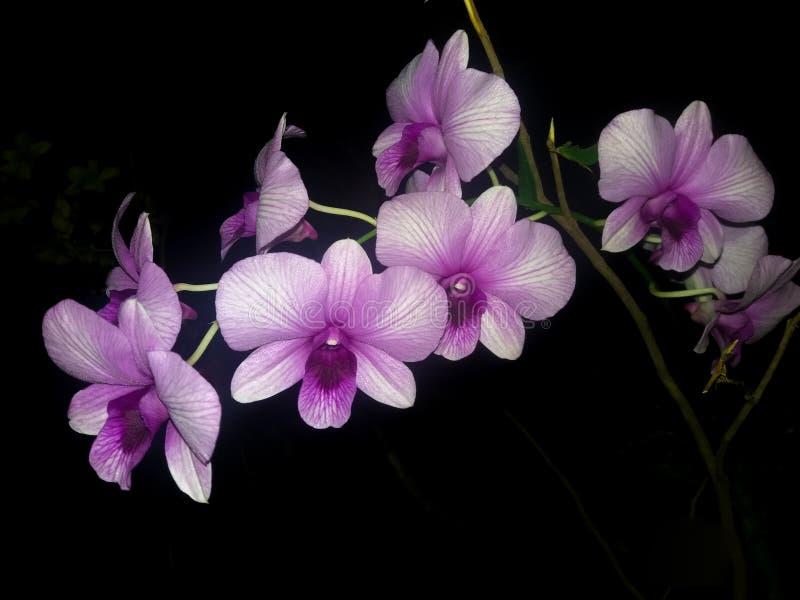 Orchidee?n Thailand royalty-vrije stock afbeelding