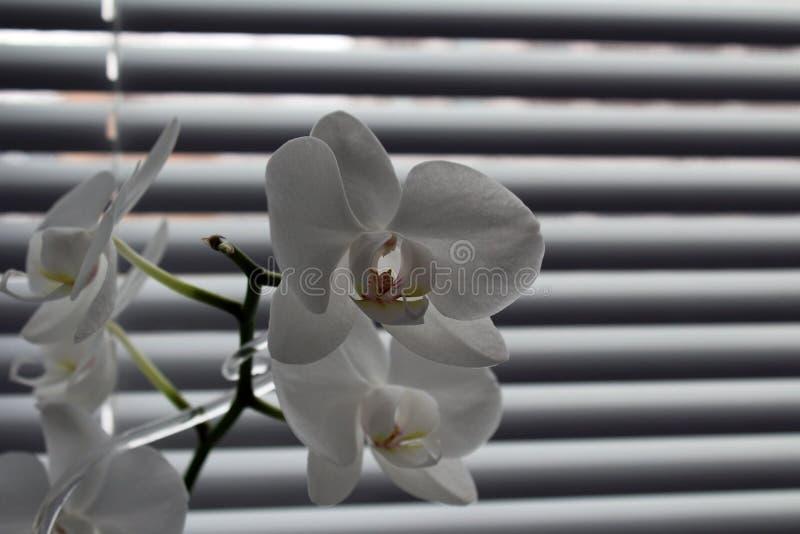 Orchidee op een achtergrond van zonneblinden stock foto