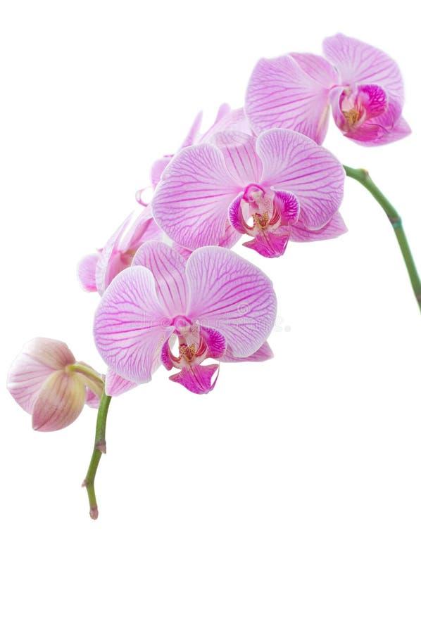 Orchidee op een wit stock foto's
