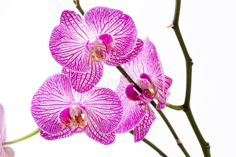 Orchidee op witte achtergrond royalty-vrije stock fotografie
