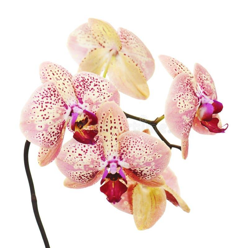 Download Orchidee Op Witte Achtergrond Wordt Geïsoleerdt Die Stock Foto - Afbeelding bestaande uit verjaardag, florist: 29513808